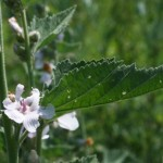 althaea_officinalis1