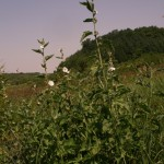 althaea_officinalis4