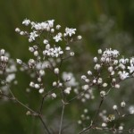 gypsophila_paniculata2