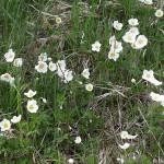Anemone sylvestris 1