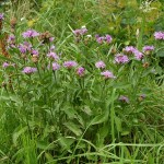Centaurea jacea subsp. jacea 1