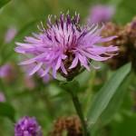Centaurea jacea subsp. jacea 3