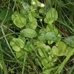 parnassia_palustris3