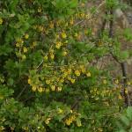 Berberis vulgaris 2