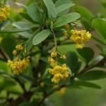 Berberis vulgaris 3