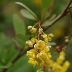 Berberis vulgaris 4