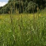 plantago_maritima_subsp_ciliata2