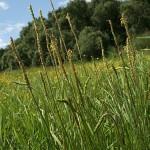plantago_maritima_subsp_ciliata4
