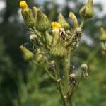 sonchus_palustris2