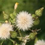 sonchus_palustris3