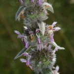 stachys_germanica3