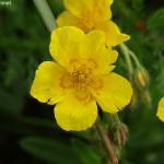 Helianthemum grandiflorum 3