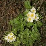 anemone_narcissiflora3