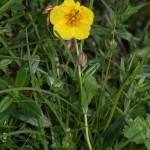 helianthemum_grandiflorum_subsp_grandiflorum1