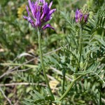 Astragalus_onobrychis_4