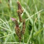 Carex_hartmanii_1