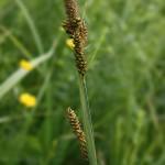 Carex_hartmanii_3