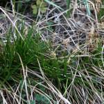 Carex_humilis_1