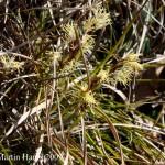 Carex_humilis_3