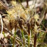Carex_humilis_4