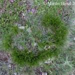 Carex_humilis_6