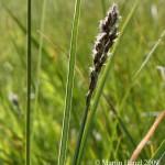 Carex_paniculata_2