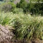 Carex_paniculata_5