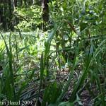 Carex_pendula_6