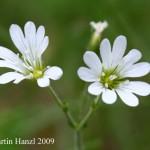 Cerastium_alsinifolium_3