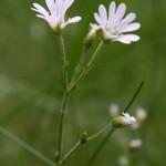 Cerastium_alsinifolium_5