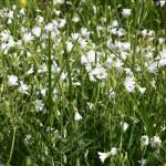 Cerastium_alsinifolium_7
