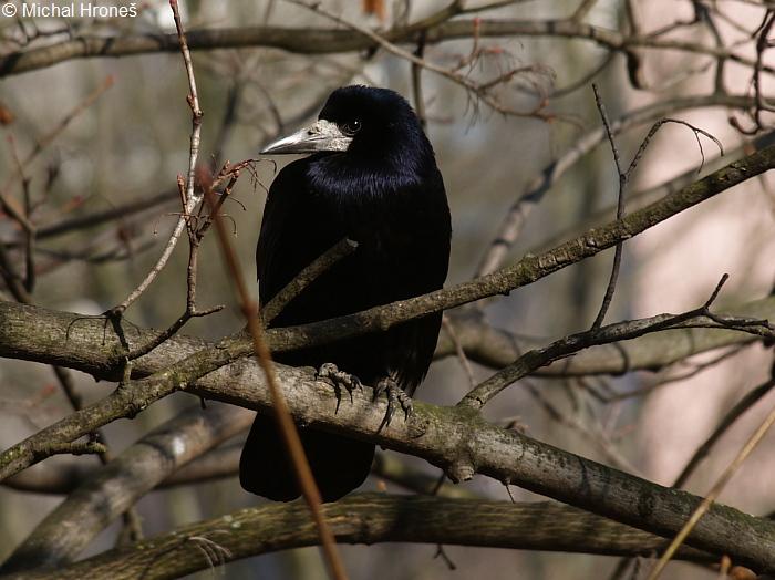 Corvus Frugilegus Havran Polni Corvidae Krkavcoviti Natura